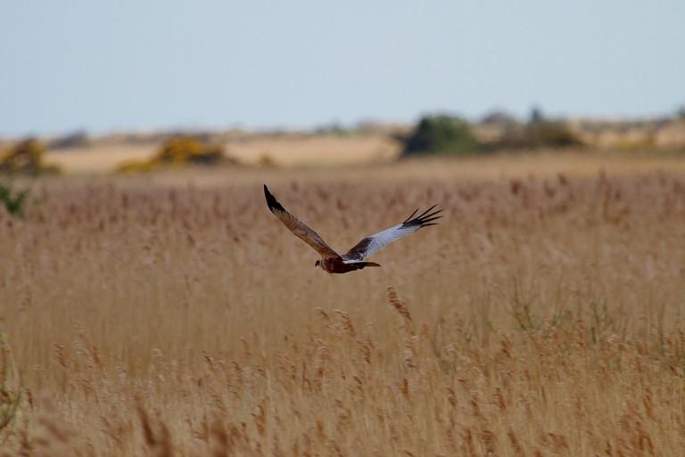 Marsh Harrier, RSPB Minsmere | © Jo Garbutt/Flickr