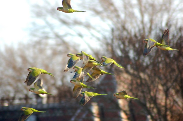 Parrots Flocking at Green-Wood Cemetery, courtesy of Steve Baldwin l Flickr