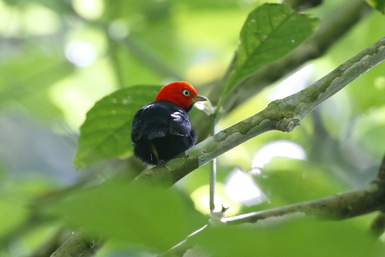 The red-capped manakin