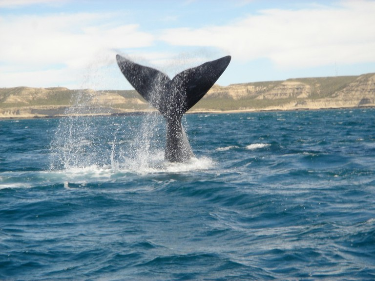 A Southern Right Whale flips its tail