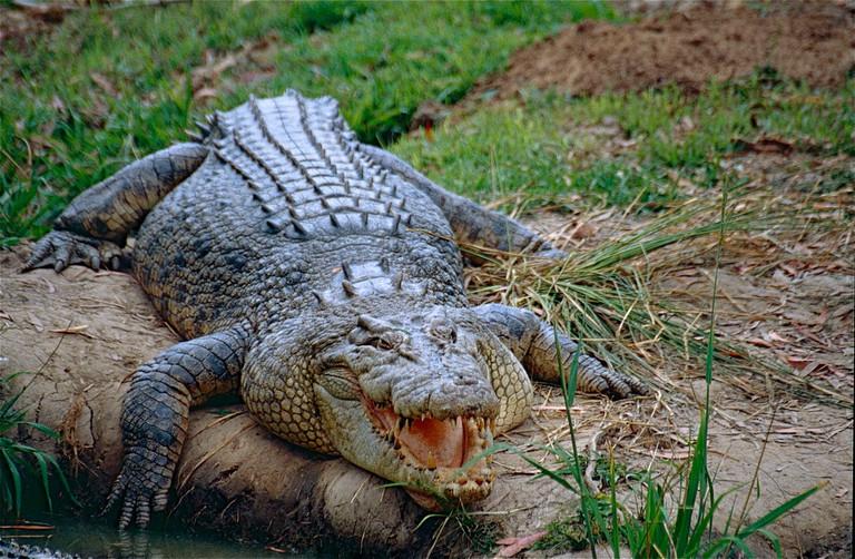 Saltwater Crocodile (Crocodylus porosus) (10106344616)