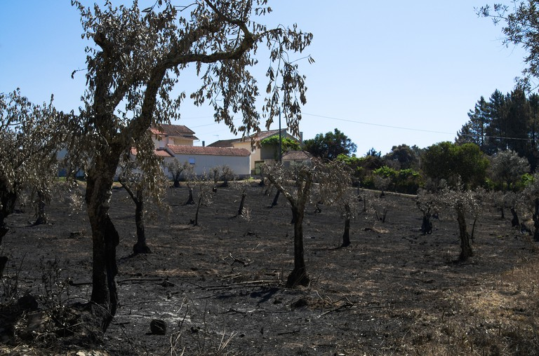 Burned down olive trees after a fire