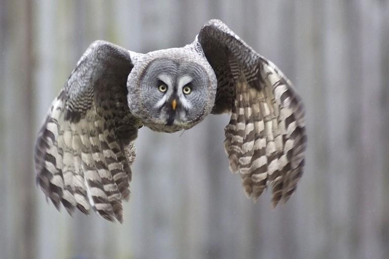 Great grey owl / Arne List / WikiCommons