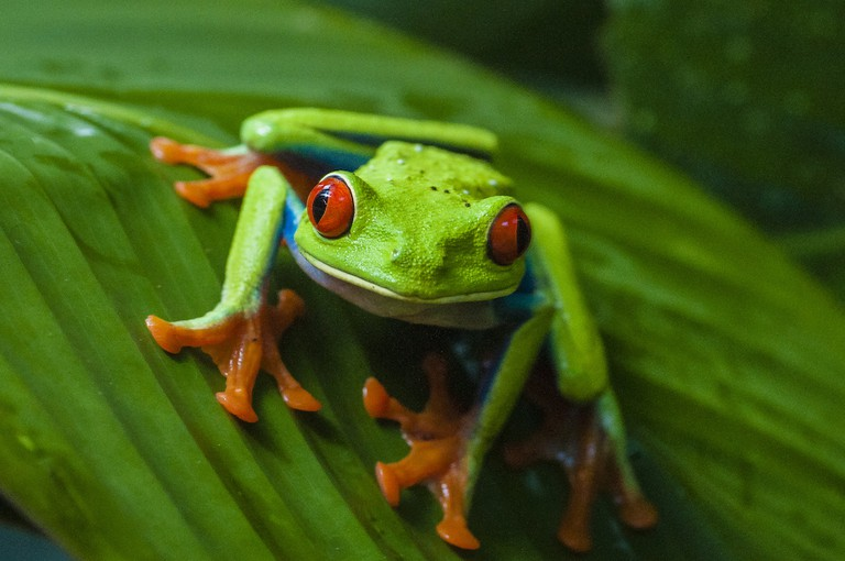Costa Rica's iconic tree frog
