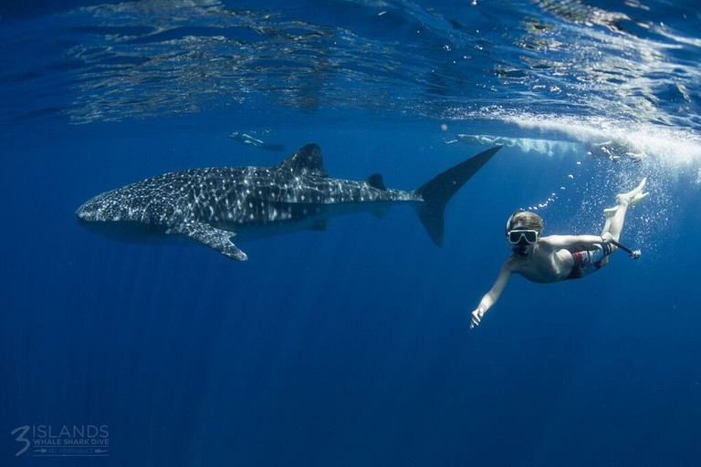 Courtesy of Three Islands Whale Shark Dive Photographer Marie-Josee Arsenault