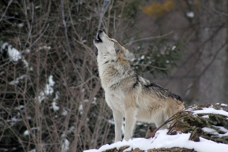 Wolf │© colfelly / Pixabay