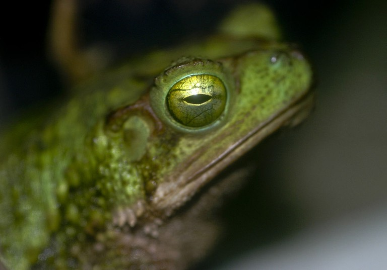 The bufo coniferus frog I