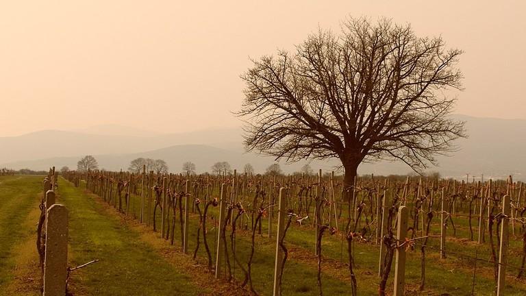 Vineyards in Slovakia's Lesser Carpathian wine region I