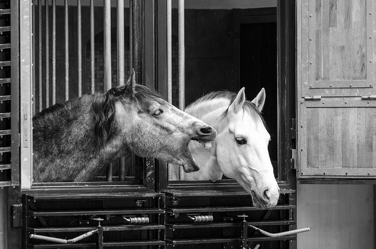 The Lipizzaner stallions at the Spanish riding school