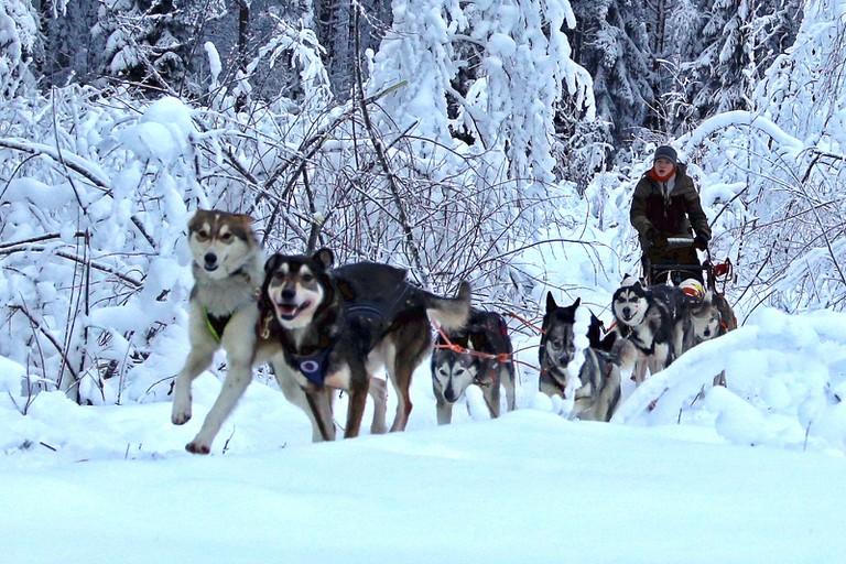 Husky sled team