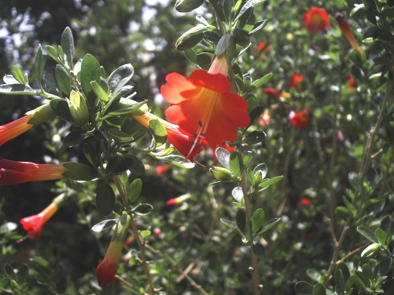 Red, yellow and green Kantuta flower