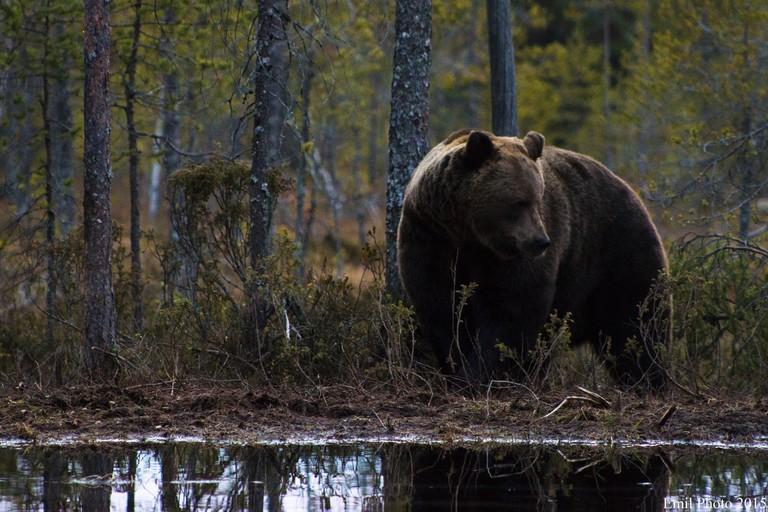 Bear in a forest | © Emil Larsen / Flickr