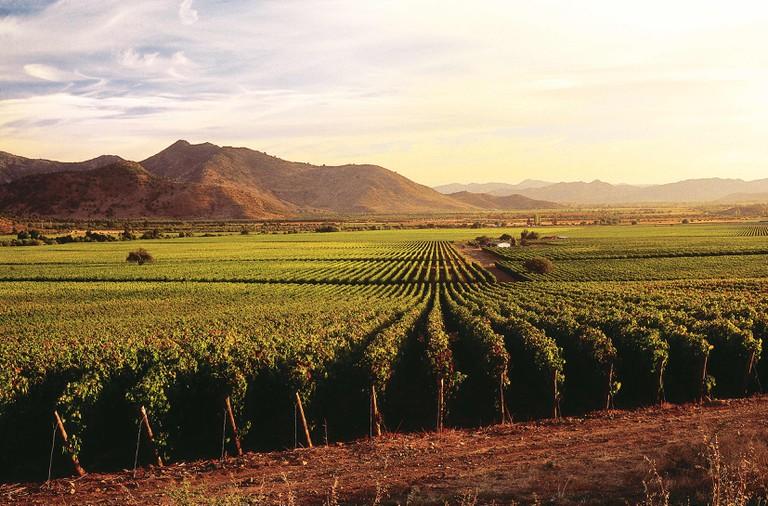 Caliterra vineyard