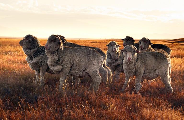 Merino Sheep in the Canterbury Region