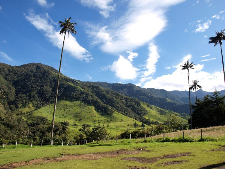 The unique wax palms of the Cocora Valley