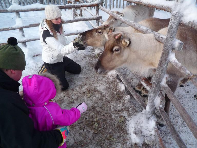 Feeding tame reindeer