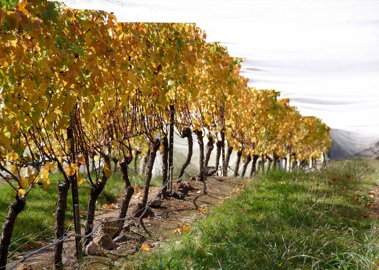 Gisborne Peak Vineyard