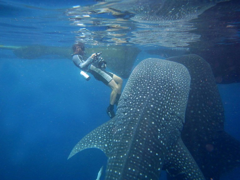 Whale sharks in Papua swim near the surface