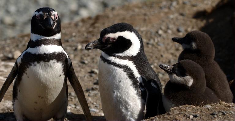 Chilean penguins