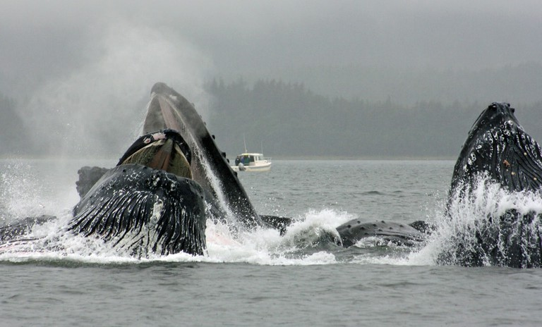 Humpback whales in Alaska using their bubble net feeding technique