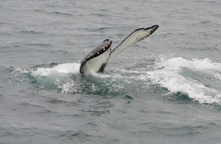 Whale Watching in Husavik | © Nick/Flickr