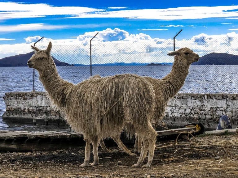 Llamas at Lake Titicaca
