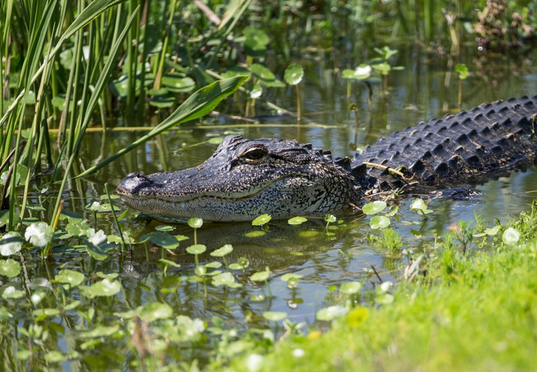 Alligator in the Everglades National Park