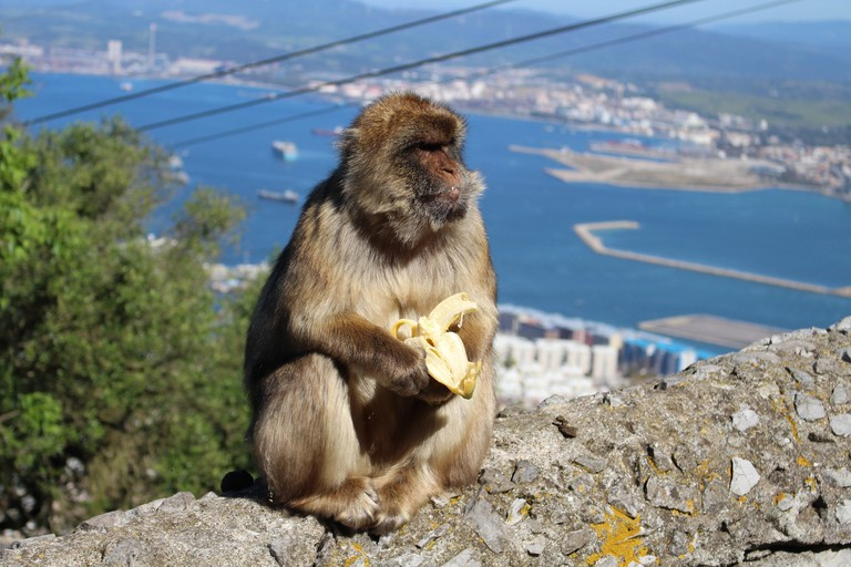 Gibraltar's Barbery macaques are the only wild monkeys in Europe; Jdexter, pixabay