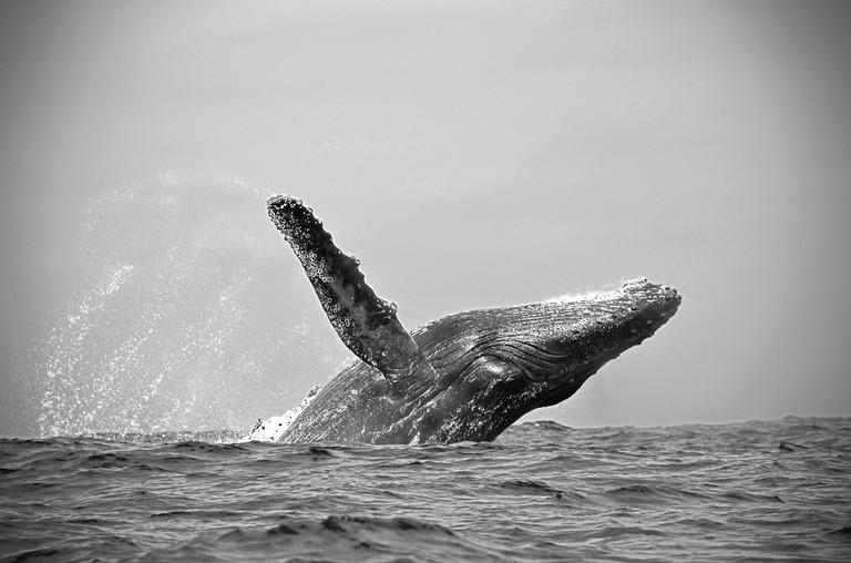 Humpback whale, Ecuador