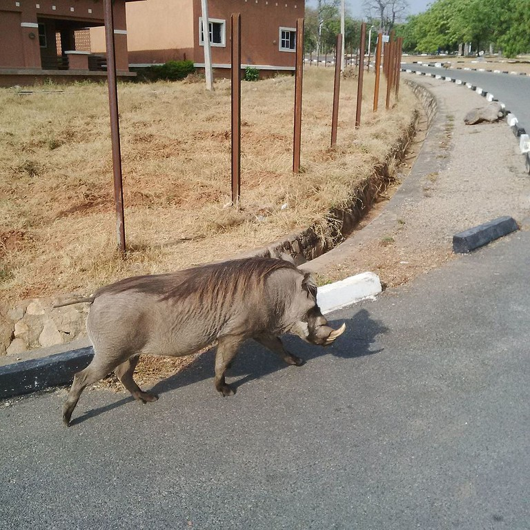A bush pig takes a stroll within the Yankari National Park's environs