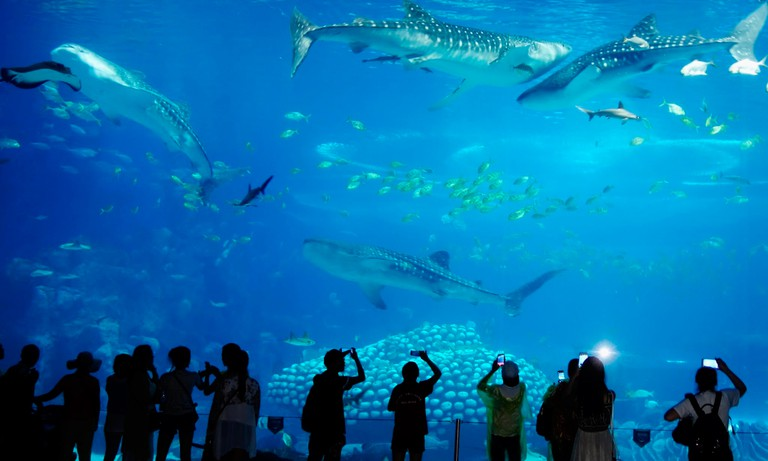 Whale Shark Exhibit at Chimelong Ocean Kingdom in China. Courtesy of Chimelong Group.
