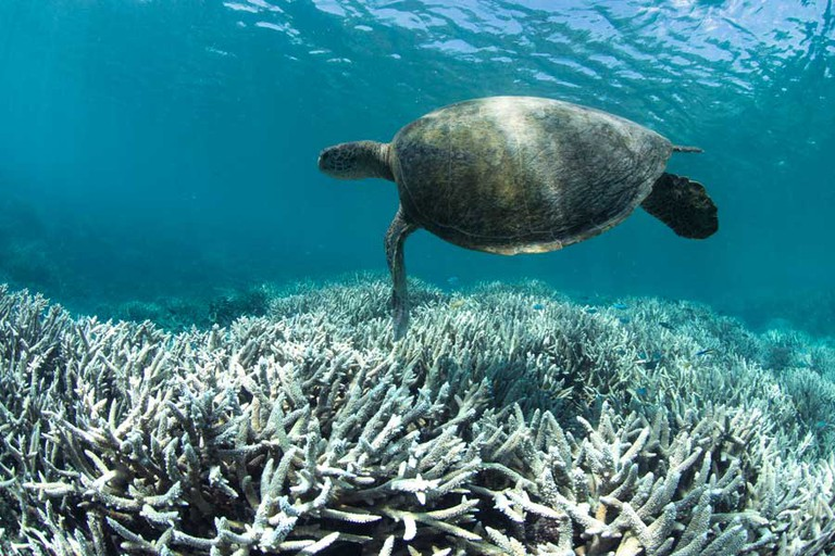 A turtle swims over bleached coral at Heron Island, Great Barrier Reef, in February 2016