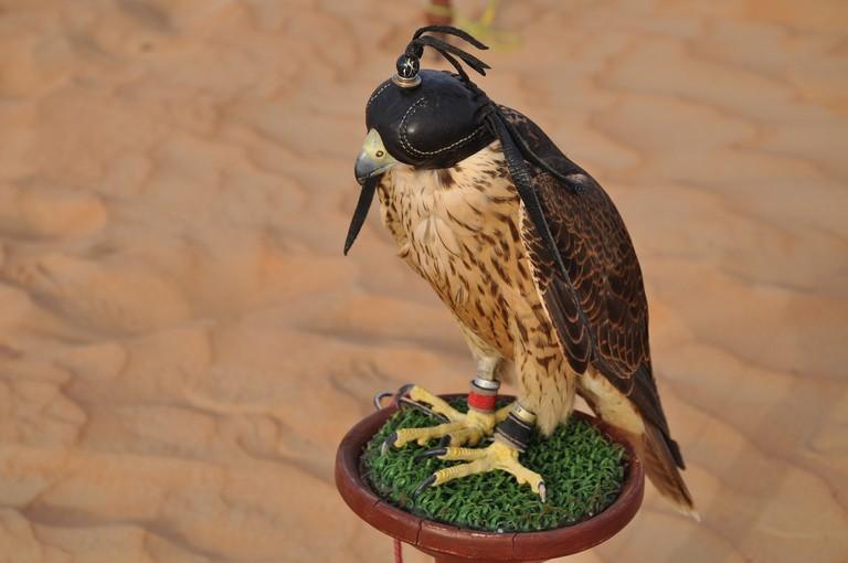 A falcon in a 'burqa' hood   © Kandy0816/Pixabay