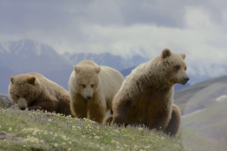 """Grizzlies   © Gregory """"Slobirdr"""" Smith/ Flickr"""