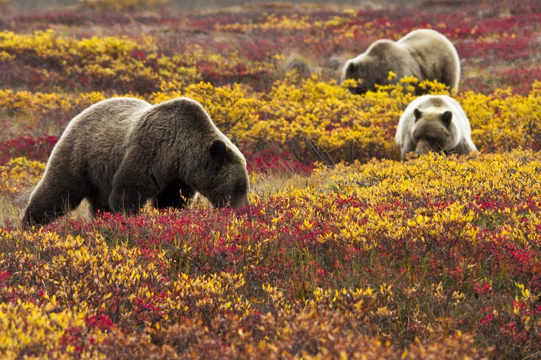 Grizzlies among the blueberries   © Denali National Park and Preserve, by Jacob W. Frank / Flickr