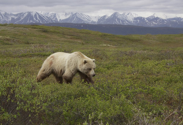 """A roaming grizzly bear   © Gregory """"Slobirdr"""" Smith / Flickr"""