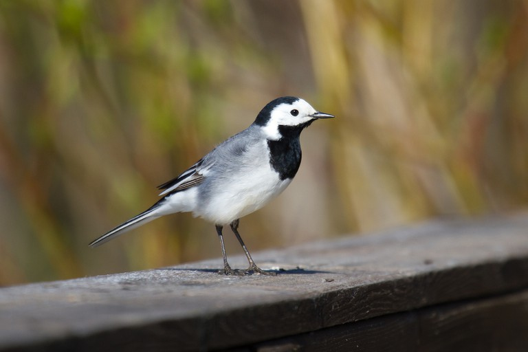 White wagtail