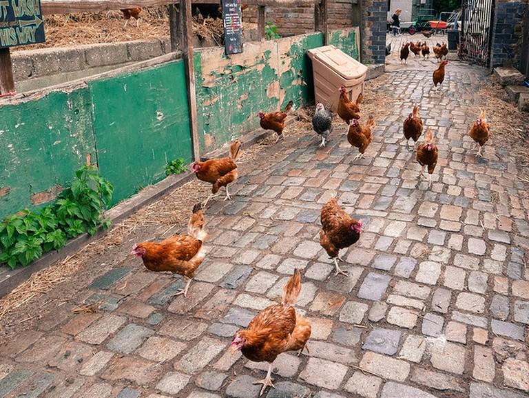 Chicken run at Hackney City Farm