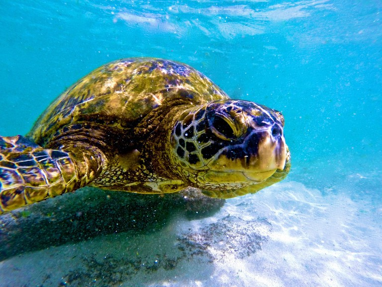 Green sea turtle at Laniakea Beach | © GE Keoni