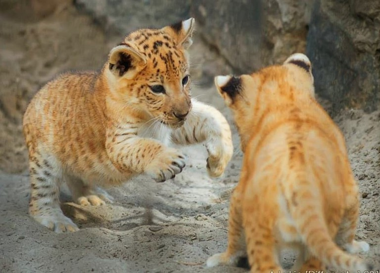 Liger cubs. photo: Courtesy of Hainan Tropical Wildlife Zoo