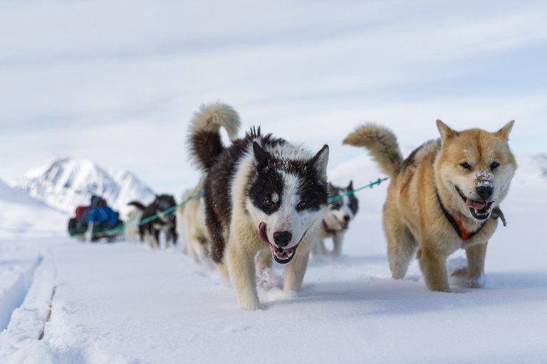 Dog sledding with huskies