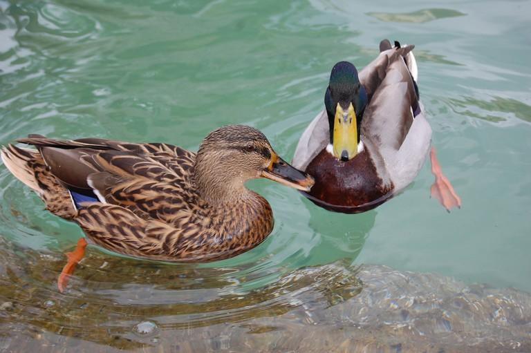 Nice weather... for ducks