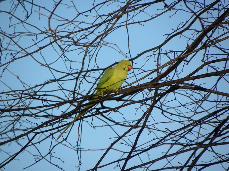A parakeet in Amsterdam