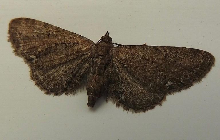 Pollila Oscura