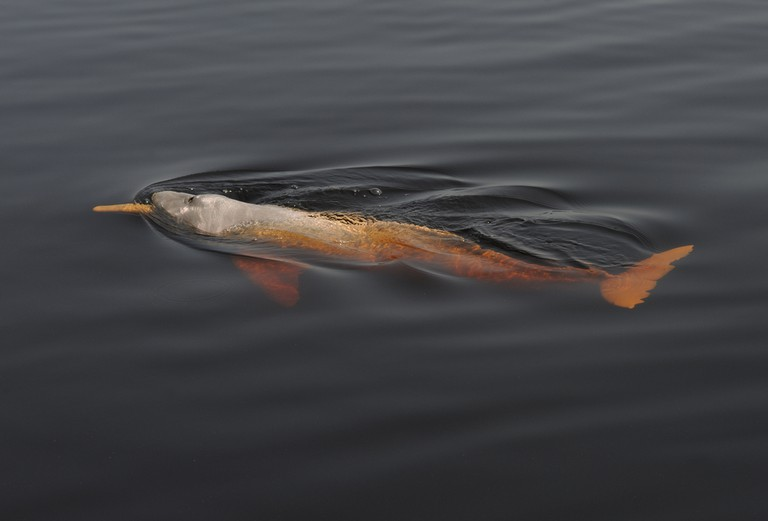 River dolphin in the Amazon |©BMJ/Shutterstock