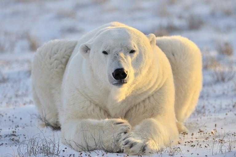 Polar bear up close in Nunavut