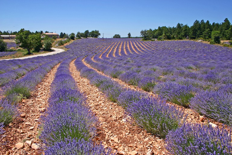 The lavender fields of Aix