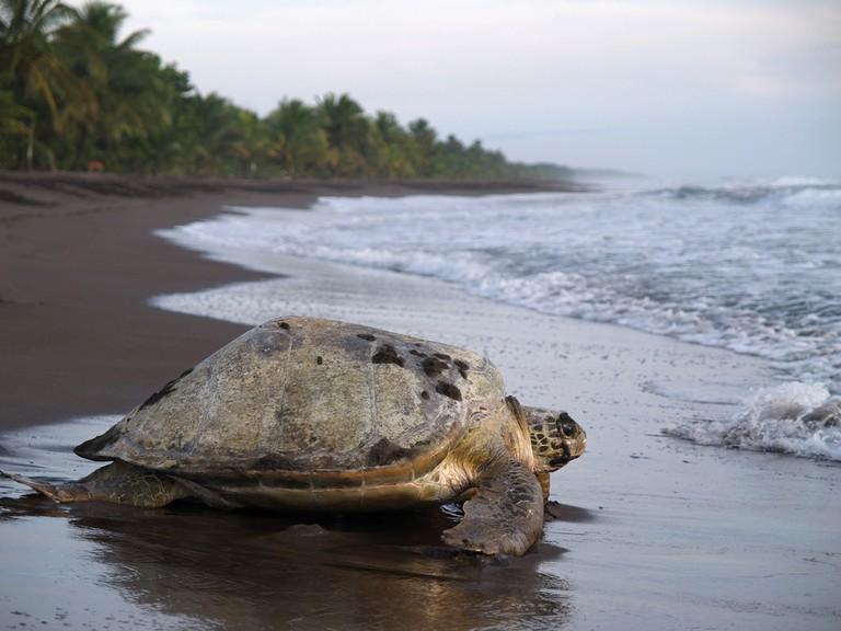 Sea Turtle crawling out to sea from Tortuguero   © Jarno Gonzalez Zarraonandia/Shutterstock