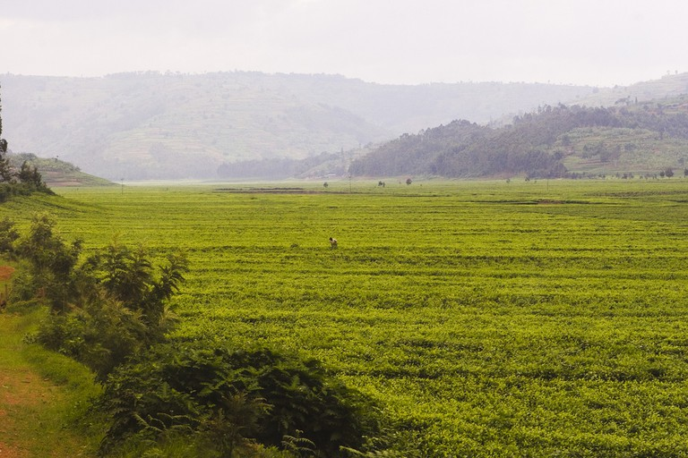 Sorwathe tea fields