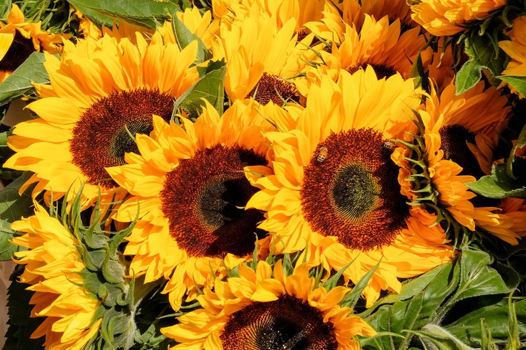 Fresh local sunflowers await in Tours